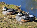 Chiloe Wigeon (WWT Slimbridge March 2014) - pic by Nigel Key