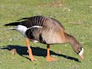 Lesser White-Fronted Goose (WWT Slimbridge March 2014) - pic by Nigel Key