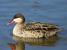 Red-Billed Teal (WWT Slimbridge March 2014) - pic by Nigel Key