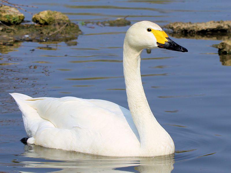 bewicks-swan-rare-specie