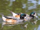 Chiloe Wigeon (WWT Slimbridge May 2015) - pic by Nigel Key