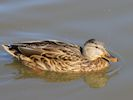 Gadwall (WWT Slimbridge September 2015) - pic by Nigel Key