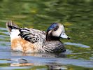 Chiloe Wigeon (WWT Slimbridge August 2016) - pic by Nigel Key