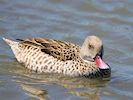 Cape Teal (WWT Slimbridge May 2017) - pic by Nigel Key