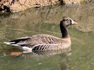 Lesser White-Fronted Goose (WWT Slimbridge May 2017) - pic by Nigel Key
