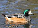 Chiloe Wigeon (WWT Slimbridge November 2017) - pic by Nigel Key
