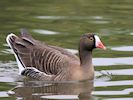 Lesser White-Fronted Goose (WWT Slimbridge April 2018) - pic by Nigel Key