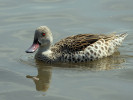 Cape Teal (WWT Slimbridge October 2011) - pic by Nigel Key
