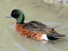 Chestnut Teal (WWT Slimbridge June 2009) - pic by Nigel Key
