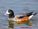 Chiloe Wigeon (WWT Slimbridge March 2012) - pic by Nigel Key