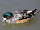 Chiloe Wigeon (WWT Slimbridge April 2013) - pic by Nigel Key