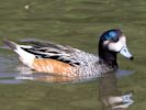 Chiloe Wigeon (WWT Slimbridge July 2013) - pic by Nigel Key