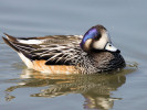 Chiloe Wigeon (WWT Slimbridge 20) - pic by Nigel Key