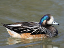 Chiloe Wigeon (WWT Slimbridge March 2011) - pic by Nigel Key