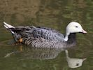 Emperor Goose (WWT Slimbridge May 2013) - pic by Nigel Key