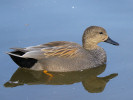 Gadwall (WWT Slimbridge March 2012) - pic by Nigel Key