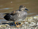 Gadwall (WWT Slimbridge March 2011) - pic by Nigel Key