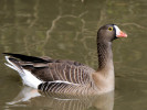 Lesser White-Fronted Goose (WWT Slimbridge March 2011) - pic by Nigel Key