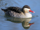 Red-Billed Teal (WWT Slimbridge March 2012) - pic by Nigel Key