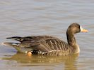 Greenland White-Fronted Goose (WWT Slimbridge April 2013) - pic by Nigel Key
